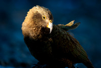 Kea catchlight