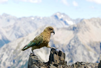 Hiking parrot, New Zealand