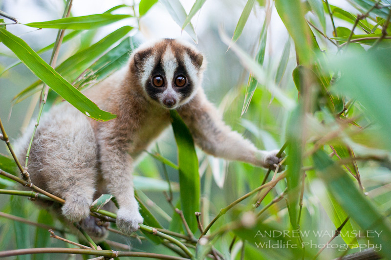 Freshly weighed and measured, a young Javan slow loris is returned home in the last light of the day